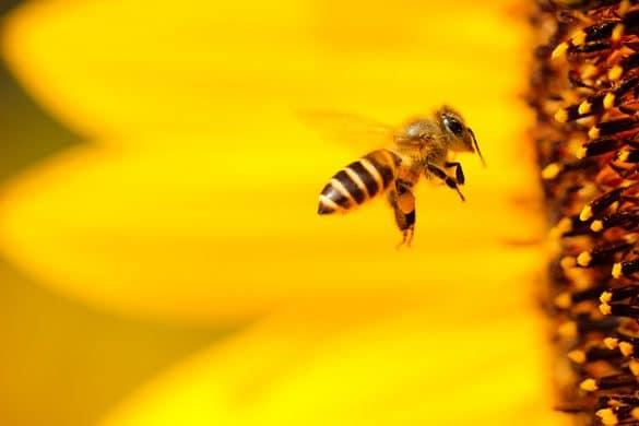 arılar: ranın gözyaşları